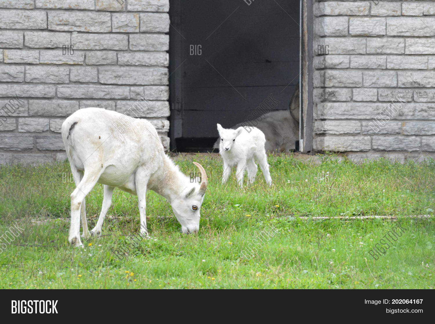 A mother and baby Dall sheep in the outdoors