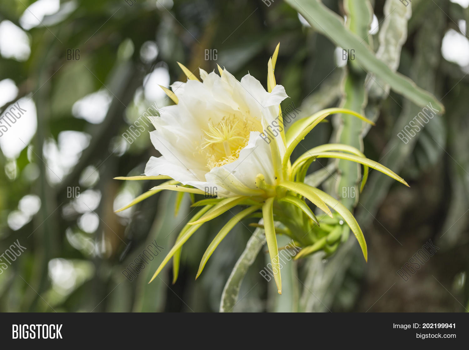 Blossom white dragon image photo free trial bigstock blossom white dragon fruit flower on blooming hylocereus cactaceae night blooming flower mightylinksfo