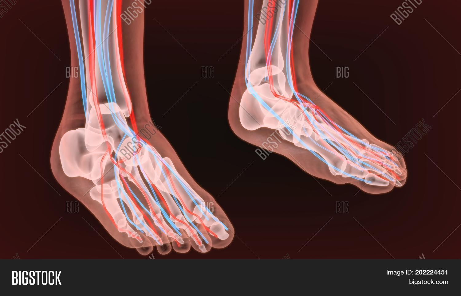 Foot Arteries Image & Photo (Free Trial) | Bigstock