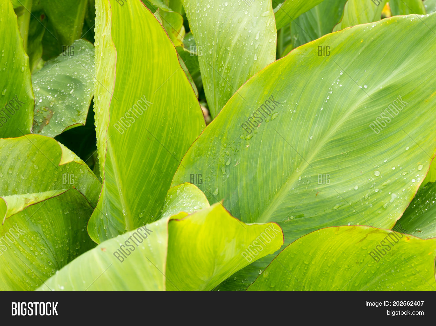 Large Green Leaves Of Plants In The Garden Closeup Background Tropics