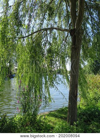 River Thames through weeping willow on sunny day in Reading Berkshire England