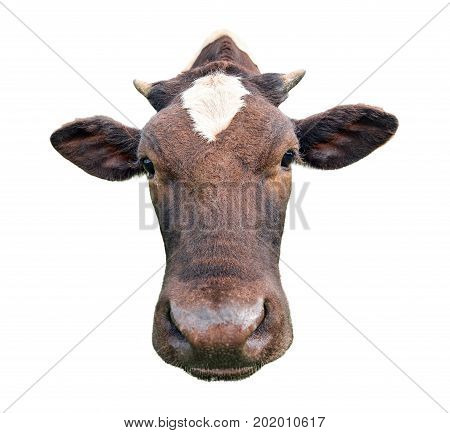 Funny cute spotted cow isolated on white. Black and white cow muzzle close up. Funny curious cow.  Farm animals. Cow close looking at the camera