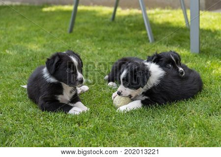Curious playing but also tired puppies in the meadow