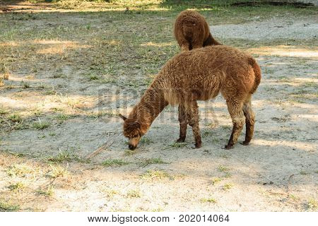 brown alpaca (Vicugna pacos) family grazing in the nature