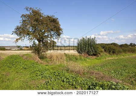 a mature hawthorn tree near straw stubble fields at harvest time with farm buildings under a blue summer sky in the yorkshire wolds