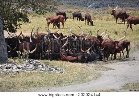 An Ankole-Watusi longhorn herd in Uganda in the field