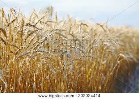 gold color wheat spikelets cereals agriculture field