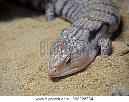 Closeup of Blue-Tongued Skink or Blue Tongue Lizard on Sand