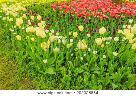 the blossoming of tulips in a park / an expanse of coloured tulips illuminated by the sun