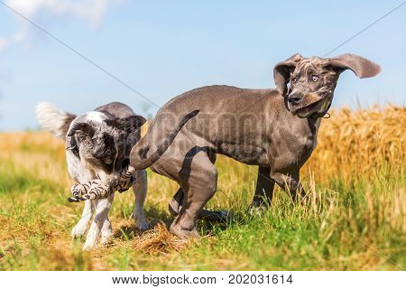 Great Dane Puppy And An Australian Shepherd Playing On A Country Path