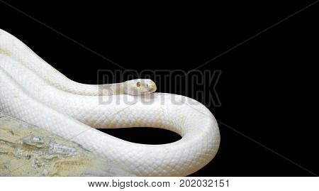 Albino Black Rat Snake Coiled near The Rock Isolated on Black Background Clipping Path