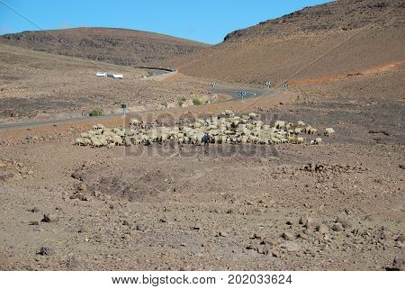Morocco, passing the Atlas mountains. Herding sheep.