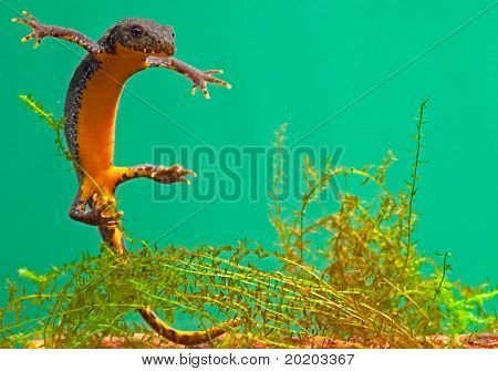 newt swimming under water aquatic animal amphibian of small freshwater ponds endangered species and protected by nature conservation alpine newt Mesotriton alpestris