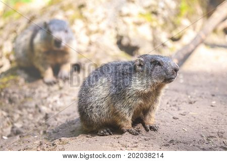 two little groundhogs sits on sandy ground