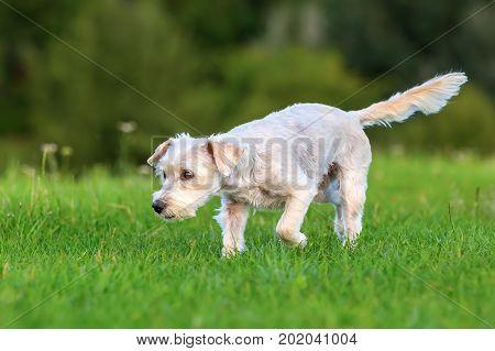Terrier Hybrid Dog Walking On A Meadow