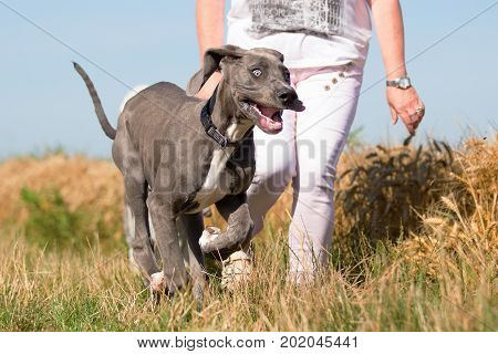 Woman Walks With Great Dane Puppy On A Country Path