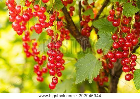 Currant. Ripe Red Berry Of Currant Growing In Fruit Garden Sunny Day Close Up.