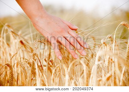 Image of human's hand with wheat spikes in field at afternoon