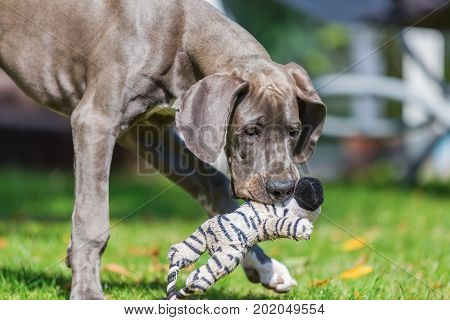 Great Dane Puppy With A Soft Toy In The Snout