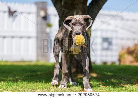 Great Dane Pupppy With A Soft Toy In The Snout