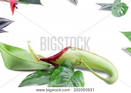 Pitcher plant Nepenthes and tropical leaves on white background