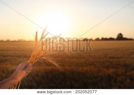 Woman holding spikelets in field at sunset