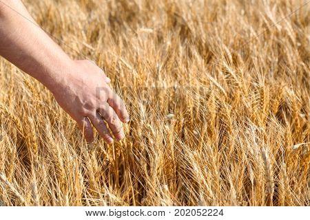 Man touching wheat spikelets in field, closeup