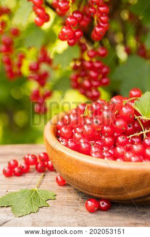 Ripe Red Berry Of Currant In Wooden Bowl On Table On Blurred Background Of Bush Of Currant In Garden Close Up.