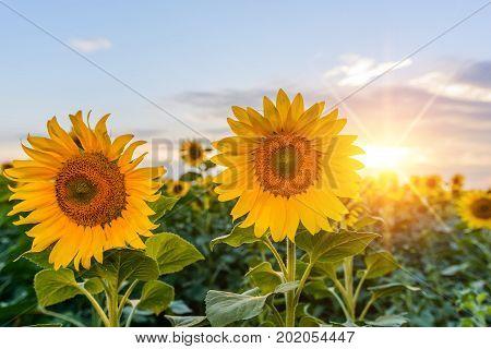 Bright yellow orange sunflower flower on sunflower field. Beautiful rural landscape of sunflower field in sunny summer day. Beautiful sunflower flower on farm field