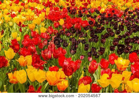 an expanse of coloured tulips illuminated by the sun /Begonia is a plant of tropical origin that must be watered
