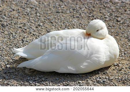 white duck sitting on gravel in sunlight nearly asleep