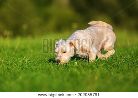 Terrier Hybrid Dog Walking In The Grass