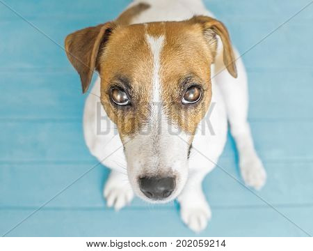 An offended sad small dog Jack Russell Terrier. A portrait of adorable puppy sitting on wooden flour indoor and looking up to camera. Blue background