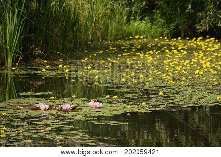 Small wetland lake covered with yellow and light pink flowers of waterlilies on the outskirts of Prague Czech Republic