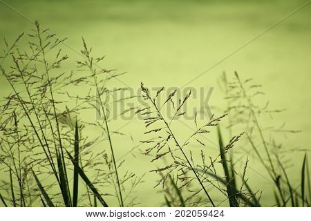 High grasses on the shore of the greenish blurred forest lake