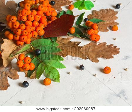 A Bunch Of Ripe Orange Mountain Ash With Green Leaves. Autumn Dry Leaves. Black Berries. White Stone
