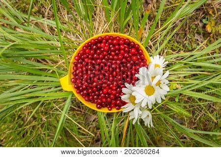 Red Cowberry In A Mug On The Grass With White Flowers Field Daisies, Flat Lay