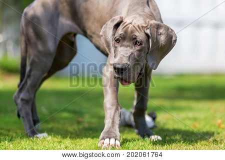 Great Dane Puppy Stands In The Garden