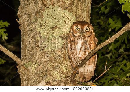 A close up of an Eastern Screech Owl in Cape Cod Massachusetts
