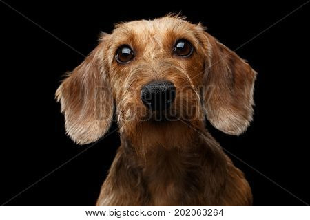 Portrait if Wirehaired Brown Dachshund Dog Curious Stare in Camera Isolated on Black Background, Front view