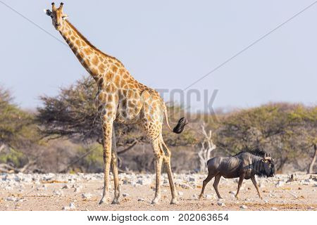 Giraffe And Blue Wildebeest Walking In The Bush. Wildlife Safari In The Etosha National Park, Famous
