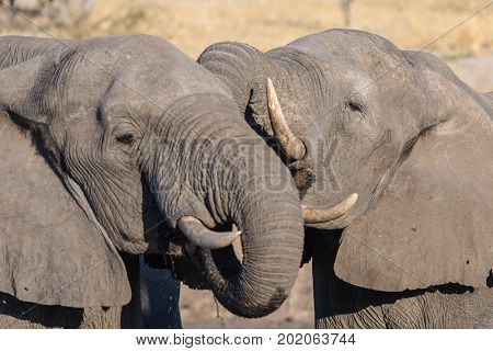 Couple Of African Elephants, Young And Adult, At Waterhole. Wildlife Safari In The Chobe National Pa
