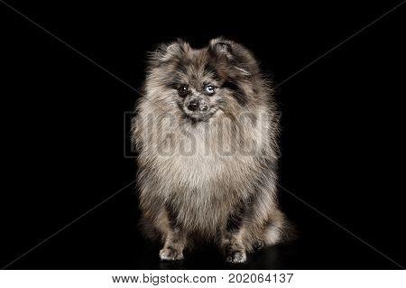 Purebred Blue Pomeranian Spitz, fur color Merle, Sitting on Isolated Black Background, Groomed Dog