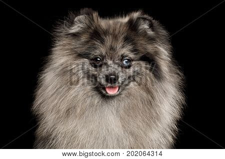 Portrait of Purebred Blue Pomeranian Spitz, fur color Merle on Isolated Black Background, front view, Groomed Dog