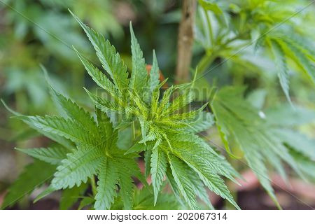 Young and green cannabis plants for medicinal purposes