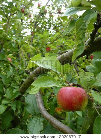 Close Up Of Green And Red Apple Hanging On Tree