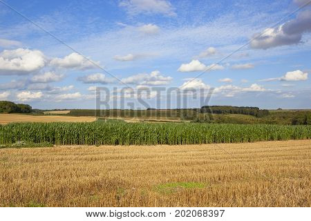 a green maize crop used as pheasant cover on a shooting estate with woodland and wheat stubble under a blue summer sky in the yorkshire wolds