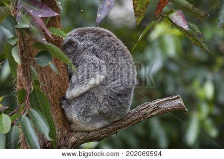 A Koala sleeping with it's head against a tree.