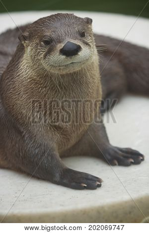 Close-up of a North American River Otter.