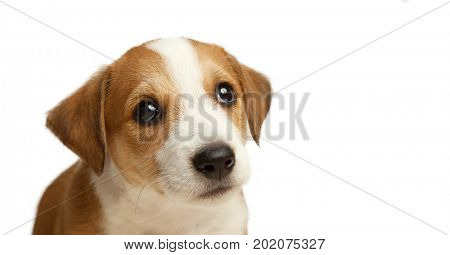 Jack Russell Terrier puppy sad pleading look isolate on white.